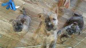 Cairn Terrier Puppies February 2017